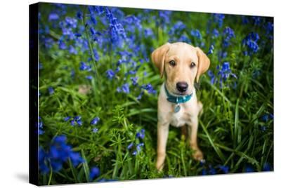 Labrador in Bluebells, Oxfordshire, England, United Kingdom, Europe-John Alexander-Stretched Canvas Print