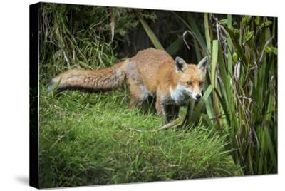 Red Fox (Vulpes Vulpes), Devon, England, United Kingdom, Europe-Janette Hill-Stretched Canvas Print