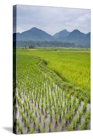 Rice Paddy Fields, Bukittinggi, West Sumatra, Indonesia, Southeast Asia, Asia-Matthew Williams-Ellis-Stretched Canvas Print