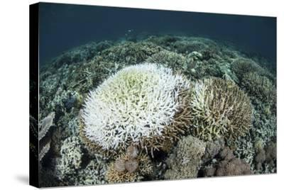 Coral Colonies are Beginning to Bleach on a Reef in Indonesia-Stocktrek Images-Stretched Canvas Print
