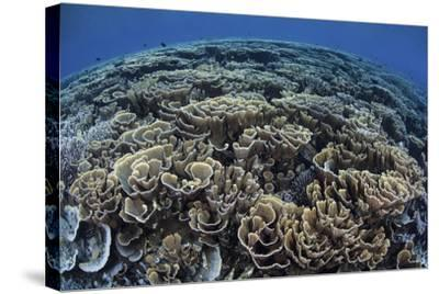 Fragile Corals Grow in Shallow Water in Komodo National Park-Stocktrek Images-Stretched Canvas Print