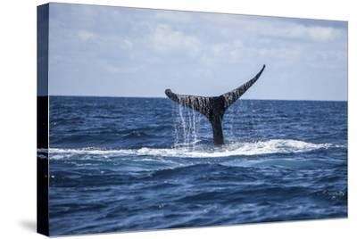 A Humpback Whale Raises its Tail as it Dives into the Atlantic Ocean-Stocktrek Images-Stretched Canvas Print