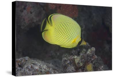 Latticed Buterflyfish, Fiji-Stocktrek Images-Stretched Canvas Print