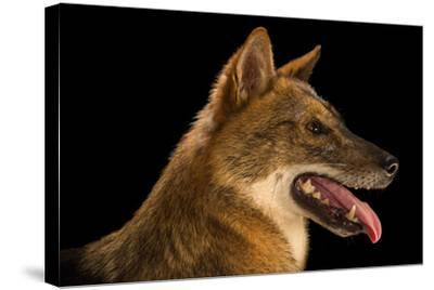 A Golden Jackal, Canis Aureus, at the Assam State Zoo.-Joel Sartore-Stretched Canvas Print