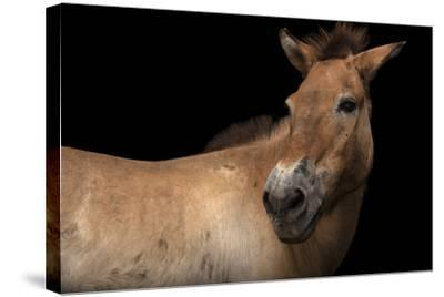 An Endangered Przewalski's Wild Horse, Equus Ferus Przewalskii, at the Gladys Porter Zoo.-Joel Sartore-Stretched Canvas Print