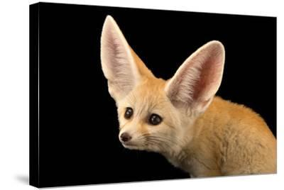 Three, Ten Week Old Fennec Fox Kits, Vulpes Zerda, at the Saint Louis Zoo.-Joel Sartore-Stretched Canvas Print