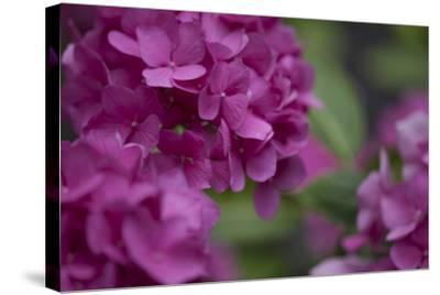 Pink Hydrangeas I-Rita Crane-Stretched Canvas Print
