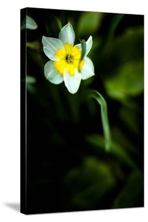 Daffodil II-Beth Wold-Stretched Canvas Print