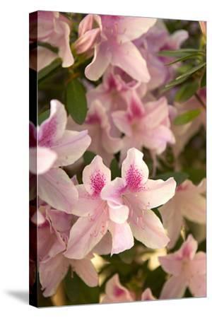 Pink Rhody II-Karyn Millet-Stretched Canvas Print