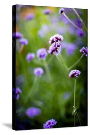 Purple Flowers-Beth Wold-Stretched Canvas Print