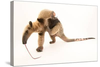 A Two Year Old Male Northern Tamandua, Tamandua Mexicana, at Summit Municipal Park.-Joel Sartore-Stretched Canvas Print