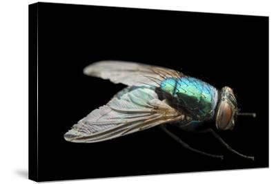 A Studio Portrait of a Fly in Lincoln, Nebraska.-Joel Sartore-Stretched Canvas Print