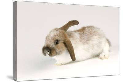 A Mini Lop-Eared Rabbit, Oryctolagus Cuniculus, at the Safari Land Pet Store.-Joel Sartore-Stretched Canvas Print