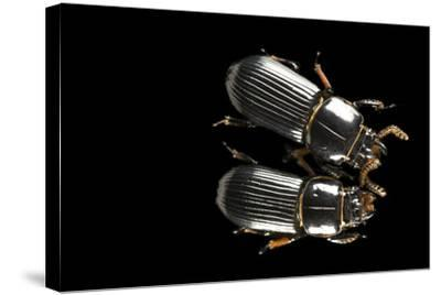 Bess Beetles or Leather Beetles, Odontotaenius Disjunctus.-Joel Sartore-Stretched Canvas Print