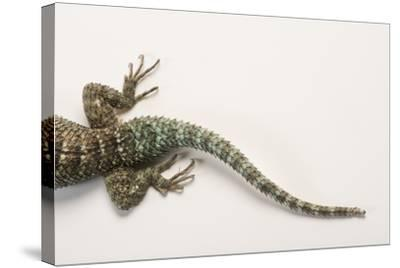 Back End of a Crevice Spiny Lizard, Sceloporus Poinsettii.-Joel Sartore-Stretched Canvas Print