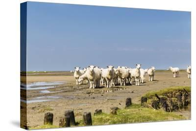 Flock of Sheep at Coast of the Northern Sea- Photo-Active-Stretched Canvas Print