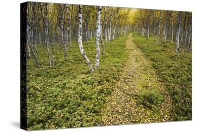 Sweden, Birch-Forest, Tree-Trunks, Forest Path-Rainer Mirau-Stretched Canvas Print