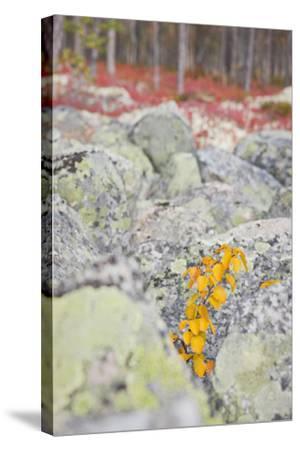 Norway, Hedmark, Femundsmark, Femund National Park, Birch, Autumn-Rainer Mirau-Stretched Canvas Print