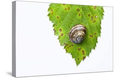 Snail, Leaf-Frank Lukasseck-Stretched Canvas Print
