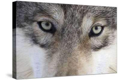 Eastern Timber Wolf, Canis Lupus Lycaon, Close-Up-Ronald Wittek-Stretched Canvas Print