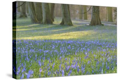Crocus in the Park at Sunrise, Spring, Husum Schlosspark, Schleswig Holstein, Germany-Raimund Linke-Stretched Canvas Print