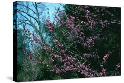 Redbud Tree in Bloom-Gregg Vicik-Stretched Canvas Print
