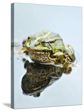 Small Pool Frog, Water, Mirroring, Frontal-Harald Kroiss-Stretched Canvas Print