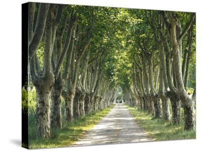 Plane Trees, Avenue-Thonig-Stretched Canvas Print