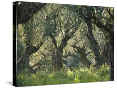 Greece, Olive Grove, Olive Trees, Old-Thonig-Stretched Canvas Print