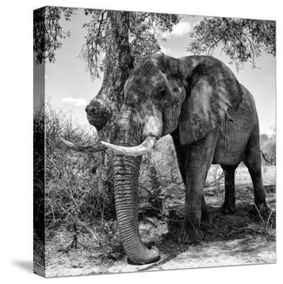 Awesome South Africa Collection Square - African Elephant B&W-Philippe Hugonnard-Stretched Canvas Print