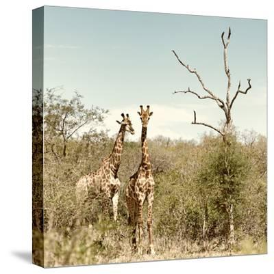 Awesome South Africa Collection Square - Giraffes in Savannah II-Philippe Hugonnard-Stretched Canvas Print