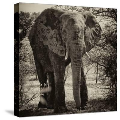 Awesome South Africa Collection Square - Elephant Portrait II-Philippe Hugonnard-Stretched Canvas Print