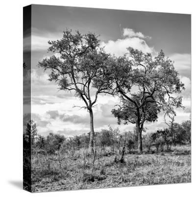 Awesome South Africa Collection Square - Savannah Trees II B&W-Philippe Hugonnard-Stretched Canvas Print