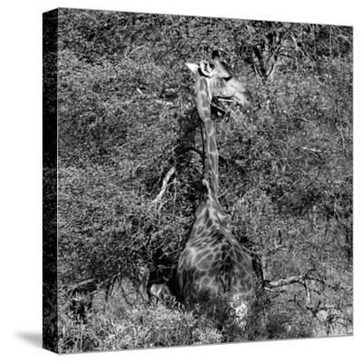 Awesome South Africa Collection Square - Giraffe B&W-Philippe Hugonnard-Stretched Canvas Print