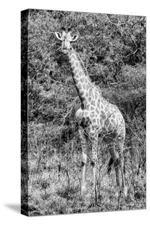 Awesome South Africa Collection B&W - African Giraffe IV-Philippe Hugonnard-Stretched Canvas Print