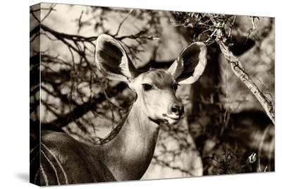 Awesome South Africa Collection B&W - Portrait of Nyala Antelope-Philippe Hugonnard-Stretched Canvas Print