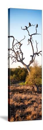 Awesome South Africa Collection Panoramic - Cape Vulture on a Tree at Sunrise-Philippe Hugonnard-Stretched Canvas Print