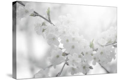 Cherry Tree-Philippe Sainte-Laudy-Stretched Canvas Print