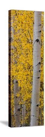 Quaking Aspen (Populus Tremuloides) Tree, Boulder Mountain, Dixie National Forest, Utah, USA--Stretched Canvas Print