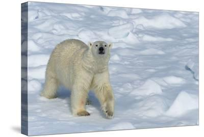 Male Polar Bear (Ursus Maritimus) Walking over Pack Ice, Spitsbergen Island, Svalbard Archipelago-G&M Therin-Weise-Stretched Canvas Print