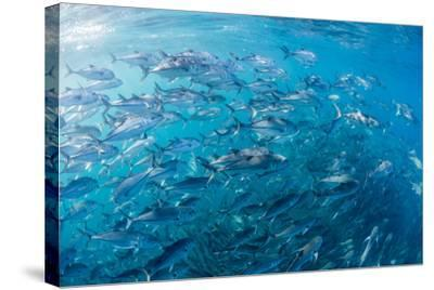 A Large School of Bigeye Trevally (Caranx Sexfasciatus) in Deep Water Near Cabo Pulmo-Michael Nolan-Stretched Canvas Print