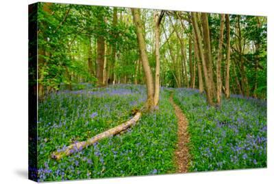 Bluebells, High Littleton Woods, Somerset, England, United Kingdom, Europe-Bill Ward-Stretched Canvas Print