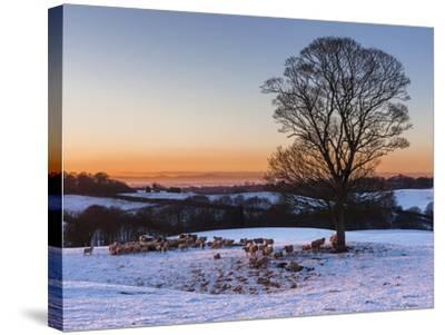 A Herd of Sheep Grazing in the Winter Snow Near Delamere Forest, Cheshire, England-Garry Ridsdale-Stretched Canvas Print