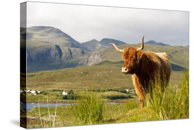 Uk, Scotland, Outer Hebrides, Harris. Highland Cow in the Wild, Aline Estate.-John Warburton-lee-Stretched Canvas Print