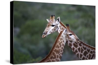 African Giraffes 014-Bob Langrish-Stretched Canvas Print