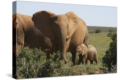 African Elephants 182-Bob Langrish-Stretched Canvas Print