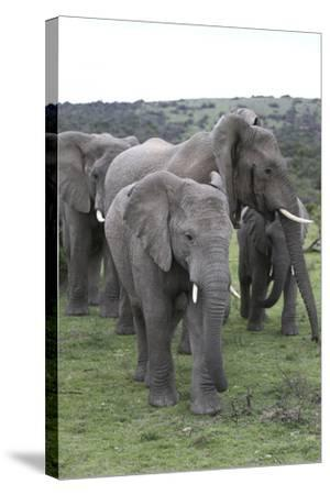 African Elephants 176-Bob Langrish-Stretched Canvas Print