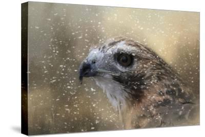Winter Redtail-Jai Johnson-Stretched Canvas Print