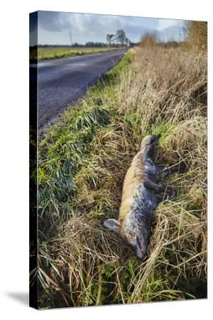 A Dead Red Fox, Vulpes Vulpes, on a Roadside in Countryside on the Somerset Levels-Nigel Hicks-Stretched Canvas Print