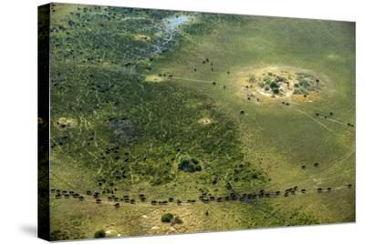 A Herd of African Buffalo, Syncerus Caffer, Walk on a Path-Beverly Joubert-Stretched Canvas Print